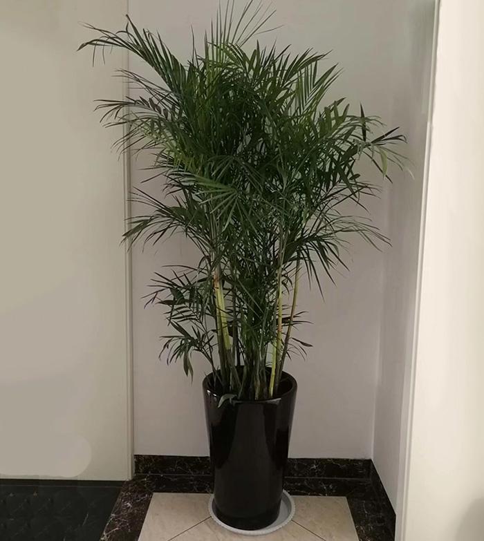 夏威夷竹子